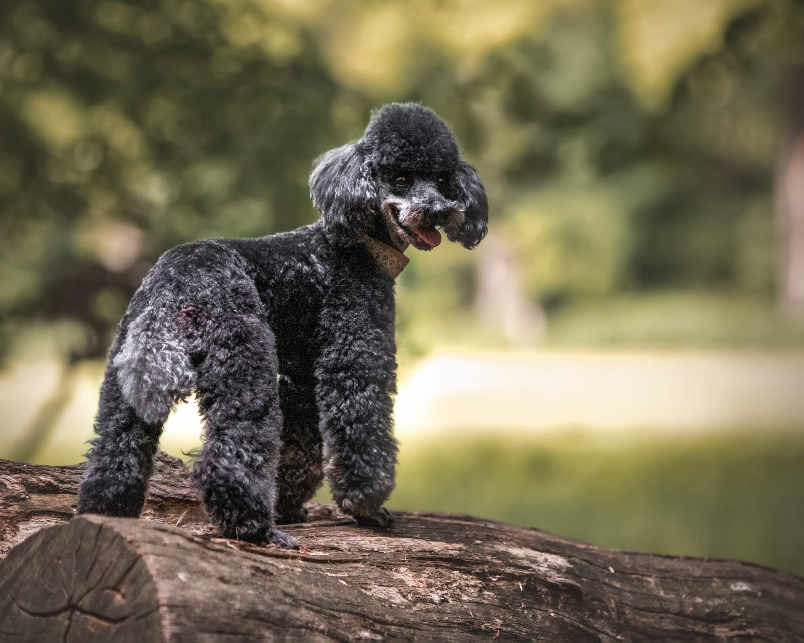 Hundefotografin